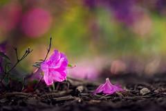 Poetic (Elizabeth_211) Tags: pink flowers nature purple bokeh tennessee 135mm 6d jacksontn westtn utgardensjackson sherielizabeth