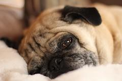 Sleepy Dukes. (Ed Mahala) Tags: dog ed pug dookie mahala