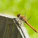 Trollsländor  Dragonfly