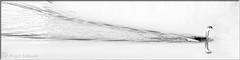 Big Wake For Such A Little Bird (Romair) Tags: marincounty highkey grebe leastgrebe cortemaderamarsh rogerjohnson