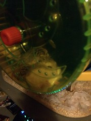 Hamsters (Elysia in Wonderland) Tags: pets cute animals wheel yellow cage hamsters petes