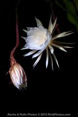 HZP_0807 (Ric Quintanilla) Tags: cereus nightblooming