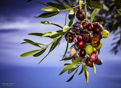 [ #84 :: 2015 ] (Salva Mira) Tags: olives mira olivas salva paísvalencià benilloba salvamira salvadormira