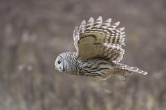 BARRED OWL (AIR BUS) Tags: barredowl owls raptors birdsofprey birds avian birdsinflight alexborbely d4