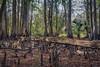 cypress forest pallbearers (tfhammar) Tags: cypress knees forest hillsborough river wildernesspark tampa florida