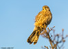 beaky boo (blackfox wildlife and nature imaging) Tags: canon 80d sigma150600mmossport deeestuary wirral wildlife kestrel birdsofprey