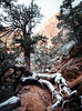 trailing snow (almostsummersky) Tags: hike snowfall winter nationalpark rocks morning twisted canyonoverlooktrail tree travel red zion trail snow utah roots treeroots winding hurricane unitedstates us