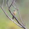 DSC_7412 (mylesm00re) Tags: f africa anthobaphesviolacea gantouwpass hottentotshollandnaturereserve nectariniidae orangebreastedsunbird oranjeborssuikerbekkie southafrica westerncape za bird