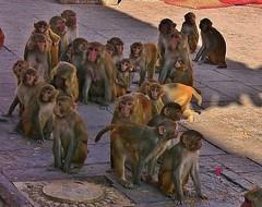 "NEPAL, Kathmandu,  Stupa von Swayambhunath, monkeys interested, 15144/7834 (roba66) Tags: affe primate baboon monkey ape apes monkys affen tiere animals reisen travel explore voyages urlaub visit roba66 nepal asien südasien asia city stadt capitol kathmandubefore earthquake ""stupa von swayambhunath"" stupa swayambhunath tempel tempelanlage building architektur architecture arquitetura kulturdenkmal monument bau fassade façade platz places historie history historic historical geschichte urban"