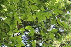 Diospyros kaki-06 (The Tree Library (TreeLib.ca)) Tags: japanesepersimmon diospyroskaki