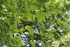 Diospyros kaki-06 (Tree Library) Tags: japanesepersimmon diospyroskaki