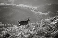 Chamois (Hattifnattar) Tags: bw wildlife chamois romania piatracraiului nationalpark pentax fa77mm limited