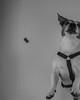 D75_4824.jpg (phil_tonic) Tags: bestdogever action frederikjustusbarnabasigor freddy jackrussell love portrait fastshutter fuckyeah failornot blackandwhite bestfriendigersfrankfurt dog hunter germany catch animal hund ferddy terrier shot food