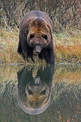 Large Brown Bear At Waters Edge - Perfect Reflection (AlaskaFreezeFrame) Tags: grizzly brownbear grizzlybear bears bruin alaska alaskafreezeframe outdoors wildlife nature dangerous ursusarctoshorriblis mammal carnivore omnivore meadow grass fall claws canon telephoto powerful beautiful magnificent