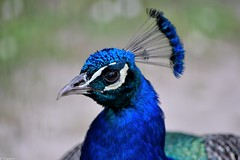 Paon bleu (Mystycat =^..^=) Tags: paonbleu paon peacock oiseau parcbordelais parc bordeaux france gironde aquitaine caudéran