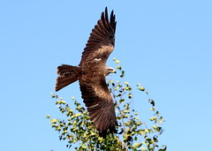 Wouw Factor [eXPLoReD] (Ger Bosma) Tags: 2mg198026 zwartewouw milvusmigrans blackkite schwarzmilan milannoir milanonegro nibbiobruno milhafrepreto чëрныйкоршун bird birdofprey flight wings flying