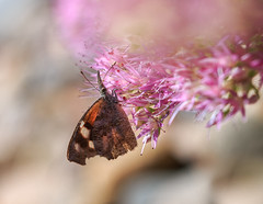 American Snout (nwitthuhn) Tags: butterfly american snout