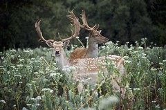 Two fallow deer in a cactus field (Pejasar) Tags: fallowdeer pair antlers cypress springsranch texas cactus