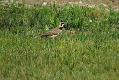 Horned lark (jlava88) Tags: hornedlark