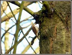 Treecreeper ( Certhia familiaris ) (postman.pete Thanks for 2m Views) Tags: robins pin cushion view goldcrest treecreeper 3coursemeal lambo fieldfare stonechat neon blue tit dunnock lumix hwcp colchester