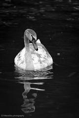 Young Swan Cygnet. (hillandsky) Tags: swan swans muteswan muteswans cygnets cygnet wildlife britishwildlife