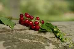 Small red berries (Judit T) Tags: macro fruit nature plant