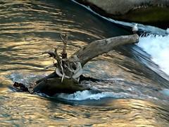 punto di osservazione (silvia07(very busy)) Tags: gabbiano seagull tronco trunk tevere fiume water acqua