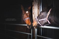 kiss me (Jean-Christophe Coutand Méheut) Tags: coutandmeheut jeanchristophe d610 nikon photographe wwwuninstantphotocom horse juments cheval chevaux