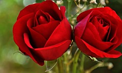 ** Love & Passion ** (Fulvia Afre) Tags: amor passion red love rese rosa flores