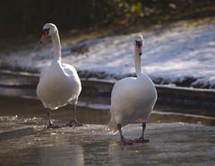 Mute swans walking on ice (stanzebla - work, eat, sleep) Tags: cygnusolor höckerschwan birds schlossgartenschwetzingen muteswan cygnetuberculé