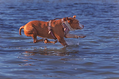 Walking On Water (Cruzin Canines Photography) Tags: animal animals canine canon canoneos5ds canon5ds 5ds eos5ds tamron tamron28300mmf3563divcpzd dog dogs domestic domesticanimal mammal pet pets pitbull pit pitbullterrier americanpitbullterrier terrier roxy outdoors outside nature naturallight water lakeming lake bakersfield action diving funny cute female girl