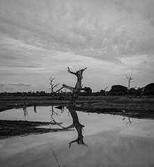 Uduwadalee Tree Mono (pbarlow1286) Tags: reflections reflection contrast high monochrome mono cloudy cloud clouds most mountains crocodile river bird birds lake safari park national nationalpark udawadalee lr lightroom room light creativecloud adobe tree bare bw blackandwhite landscape nikond600 nikon srilankaanddubai2017