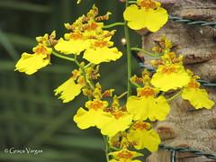 o r c h i d (✿ Graça Vargas ✿) Tags: orchid flower orquidea graçavargas ©2017graçavargasallrightsreserved yellow oncydiumvaricosum chuvadeouro oncidio 19906290117
