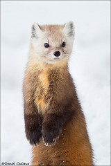 Pine Marten Standing Tall (Daniel Cadieux) Tags: marten pinemarten americanpinemarten stand standing upright curious cute paws winter snow