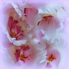 Gladioli (Mazzlo) Tags: gladioli floral flowers pink pretty nikon d5500 abstract maureenlong mazzlo