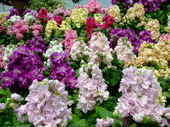 Matthiola incana (yewchan) Tags: flower flowers garden gardening blooms blossoms nature beauty beautiful colours colors flora vibrant lovely closeup matthiola matthiolaicana hoarystock stock stocks bromptonstock