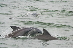 Atlantic Bottlenose Dolphins (Laurie-B) Tags: aquarium balaenopteridae bottlenosedolphin cetaceaorder delphinidae eukaryotasuperkingdom humpbackwhalemegapteranovaeangliae mammaliaclass mammals megapteranovaeangliae tetrapodasuperclass tursiopstruncatus virginia virginiabeach whalesanddolphin