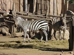 Equus quagga boehmi (carlos mancilla) Tags: equusquaggaboehmi cebracomún cebradegrant olympussp570uz zoológicos zoos