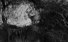 Caught In The Moment (philnewton928) Tags: impalaantelope impala antelope aepycerosmelampus mammal animal animalplanet wild wildlife nature natural olifants kruger krugernationalpark africa southafrica outdoor outdoors safari nikon nikond7200 d7200 blackandwhite blackwhite monochrome