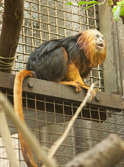 Golden-headed Lion Tamarin (duncan_ireland) Tags: zoo washingtondc smithsonian dc washington lion primate tamarin primates washingtonzoo goldenheadedliontamarin goldenheaded
