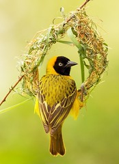 The Wedding Ring (sun.drop81) Tags: africa building bird nature animal nest wildlife natuur safari afrika botswana vogel birdlife weaverbird mashatu wever ploceusintermedius lessermaskedweaver hvhe1 hennievanheerden