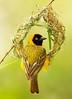 The Wedding Ring (sun.drop81) Tags: africa building bird nature animal nest wildlife natuur safari afrika botswana vogel birdlife weaverbird mashatu wever ploceusintermedius lessermaskedweaver hvhe1 hennievanheerden