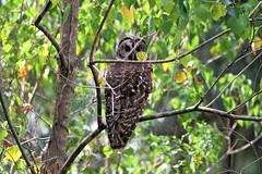 Who ? (rlbarn) Tags: owl barred