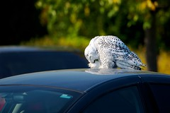 Migration Arrival (imageClear) Tags: white bird nature beauty wisconsin aperture nikon parkinglot flickr snowy wildlife preening dramatic arctic raptor owl workplace migration sheboygan photostream snowyowl 80400mm carhood d600 imageclear