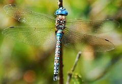 Blue-eyed Darner (birding4ever) Tags: 5 blueeyeddarner rhionaeschnamulticolor sailorbar americanriverparkway dragonflygallery defenders{detailednature}macroandcloseup ourwonderfulandfragileworld illuminationsinthewild amazingimpressionsofnature sjohnsonsfaunahighqualityimages worldnatureandwildlifegroup naturallywonderful dreamsilldream arborsquareanaturegroup butterflydreams naturespotofgoldlevel1 naturesgallery naturesprime naturescarousel thesunshinegroup colorsoftheheart damniwishidtakenthat coth5 ngc naturesgoldencarousel worldnatureandwildlifehalloffame bestofdamniwishidtakenthat worldnatureandwildlifeplatinumgroup naturesgarden thenaturessoul flowersorinsectsmacrosonly powerofphotographylevel2 powerofphotographylevel1 powerofphotographylevel3 bestofnaturesgallery everythinggoodinnature