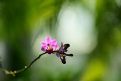 ファレノプシス・エクエストリス/Phalaenopsis equestris (nobuflickr) Tags: flower nature japan 大阪市 osakapref 咲くやこの花館 turumi ryokuchpark awesomeblossoms ラン科ファレノプシス属 20151024dsc00318 ファレノプシス・エクエストリス phalaenopsisequestrisvarleucaspischauerrchbf