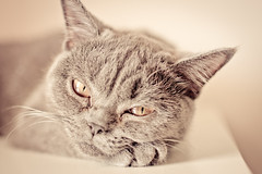 Bokeh Studio (Fanita Rares Gabriel) Tags: pet love beautiful beauty face cat nice dof british atittude kity