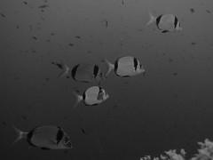 Breams, Ras il-Hobz, Gozo (yayapapaya77) Tags: fish underwater middlefinger diving malta fisch mediterraneansea gozo tauchen unterwasser mittelmeer brassen breams rasilhobz canonpowershotg15