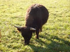 DSCF8532 Parco Nord - Una fattoria! (Franz Maniago) Tags: tori cavalli toro mucche asinello asini bovini animalidomestici animalidafattoria animalidigrossataglia