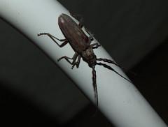 Cerambycidae Cerambycinae Eucalypt Longicorn Beetle DSCF3243 (Bill & Mark Bell) Tags: exmouth westernaustralia australia geo:town=exmouth geo:state=westernaustralia geo:country=australia geo:lon=11425453egeolat2217752sgeoalt8m 11425453e2217752salt8m taxonomy:kingdom=animalia animalia taxonomy:phylum=arthropoda arthropoda taxonomy:class=insecta insecta taxonomy:order=coleoptera coleoptera taxonomy:family=cerambycidae cerambycidae taxonomy:subfamily=cerambycinae cerambycinae taxonomycommonnameeucalyptlongicornbeetle eucalyptlongicornbeetle animal fauna beetle